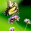 John P. Cleary |  The Herald Bulletin<br /> This butterfly prepares to fly to another spot as it feeds on the nectar of the flowers in the butterfly garden next to the Nature Center at Mounds State Park.