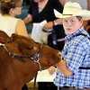 Don Knight | The Herald Bulletin<br /> Miller Smith looks to the judge as he shows his Red Angus Heifer during the 4-H Fair Beef Show. Smith won Grand Champion Heifer with his shorthorn heifer.