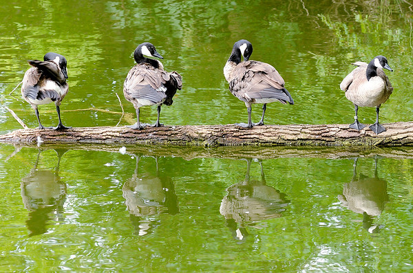 Don Knight | The Herald Bulletin<br /> A gaggle of geese perch on a log and preen their feathers at Shadyside on Wednesday.
