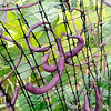 Don Knight | The Herald Bulletin<br /> Purple beans growing at Asparagus Annie's on Wednesday. The beans turn green when cooked.