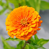 Don Knight | The Herald Bulletin<br /> A zinnia blooms at Asparagus Annie's on Wednesday.