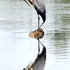 "John P. Cleary | The Herald Bulletin<br /> This blue heron does a litter ""reflective grooming"" as he sits on a lone stump in the calm waters of Shadyside Lake grooming himself on a hot day."
