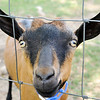 Don Knight | The Herald Bulletin<br /> A goat looks out from the pasture at Asparagus Annie's on Wednesday.