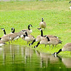 Don Knight   The Herald Bulletin<br /> Canada geese gather at the shore of the lake at Shadyside on Tuesday during a break in rain from the remnants of Barry. The National Weather Service is forecasting temperatures in the 90s for the end of the work week.