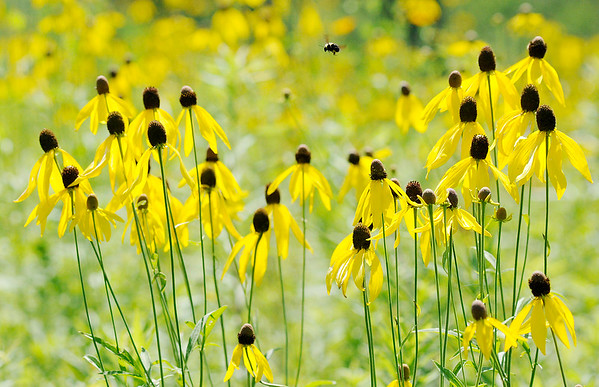 Don Knight   The Herald Bulletin<br /> A bee flies between blooms of grey coneflower as prairie flowers are in bloom along trail one at Summit Lake State Park on Saturday.