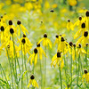 Don Knight | The Herald Bulletin<br /> A bee flies between blooms of grey coneflower as prairie flowers are in bloom along trail one at Summit Lake State Park on Saturday.