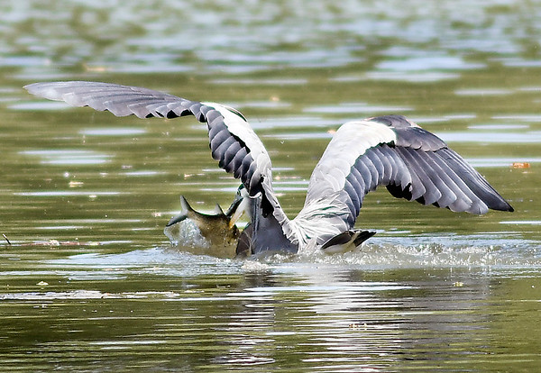 John P. Cleary | The Herald Bulletin      2 of 3 photos<br /> This blue heron finds a mid-day meal along the banks of Shadyside Lake. The heron dives into the water and catches its prize.