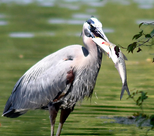 John P. Cleary | The Herald Bulletin        3 of 3 photos<br /> This blue heron finds a mid-day meal along the banks of Shadyside Lake. After catching the heron takes it back to the banks of the lake to enjoy the feast.