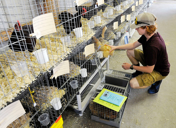 Don Knight | The Herald Bulletin<br /> Luke Loller places his chickens in the poultry barn as animals arrive for the 4-H Fair in Alexandria on Saturday.