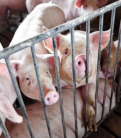 John Simmermon has a pork production facility on his Stony Creek Township farm where they have up to 2,000 hogs on hand at any given time to custom feed for other people with raising more then 20,000 hogs a year.