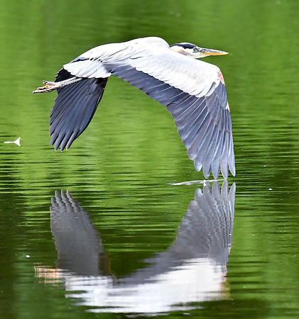 This great blue heron makes a 'reflective wing touch' as it flies low over the waters of Shadyside Lake in search for it's next meal.