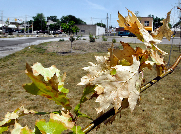 New trees and shrubs that were planted earlier this year in the old Model Homes lot at 14th & Main Streets are starting to dry up and die due to the lack of moisture.