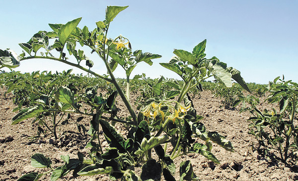 These Red Gold tomato plants planted at 1100 North and 550 West are starting to bloom despite the dry weather conditions the area has experienced .