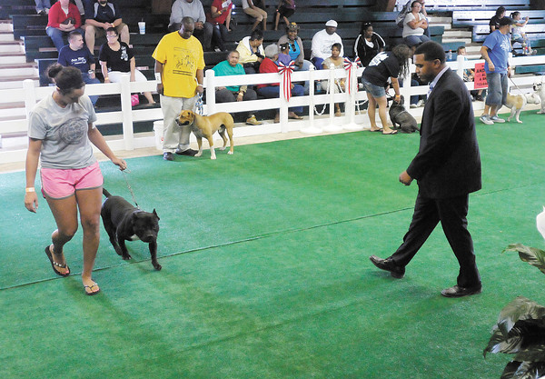 Mackenzie Newlin with Obedient Bullie Kennels of Frankton walks Levi for judge Scott Florence during Canine Body Building competition at the fair grounds in Alexandria.