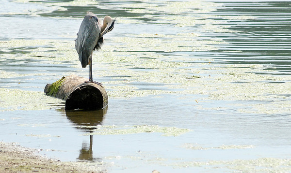 A heron perches on a log while preening its feathers at Shadyside Park.