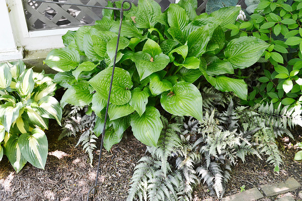 Looking for variety even in shady areas, Donna has grouped striped hostas, green hostas and Japanese fern together.