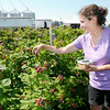 Don Knight   The Herald Bulletin<br /> Katie Guenthenspberger picks raspberries at Guenthenspberger Farms on Wednesday. The farm opened for pick-your-own raspberries this weekend.