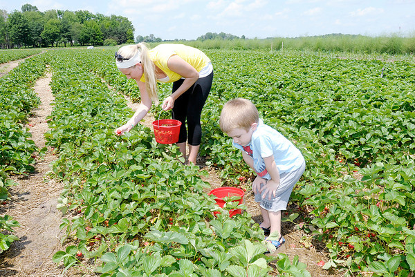 Don Knight | The Herald Bulletin<br /> Deanna Messer and her son Brody, 4, pick strawberries at Fields of Joy at 3840 W. 38th St. on Thursday. Formerly known as Pastor's Produce the five acre farm was purchased by the Beghtel family. To view or buy this photo and other Herald Bulletin photos, visit photos.heraldbulletin.com.
