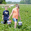 Don Knight | The Herald Bulletin<br /> Conner and Emma Adams carry buckets of strawberries out of the fields after<br /> picking at Fields of Joy at 3840 W. 38th St. on Thursday. To view or buy this photo and other Herald Bulletin photos, visit photos.heraldbulletin.com.