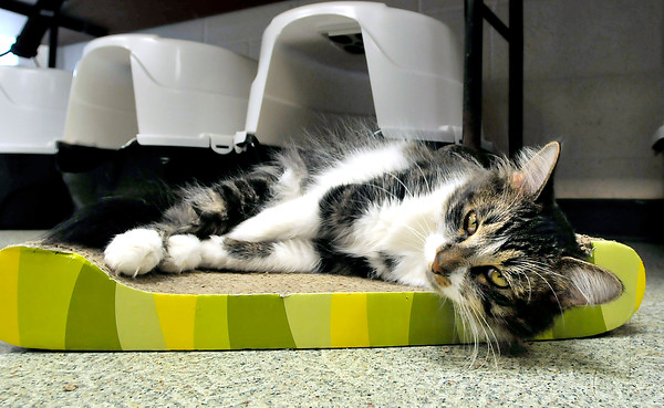 John P. Cleary   The Herald Bulletin<br /> The cats at the Animal Protection League are cageless in the cat room so they can roam, climb, play, and sleep anywhere they want.