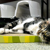 John P. Cleary | The Herald Bulletin<br /> The cats at the Animal Protection League are cageless in the cat room so they can roam, climb, play, and sleep anywhere they want.