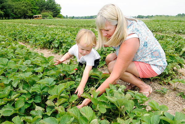 Don Knight   The Herald Bulletin<br /> Diane Ket and her grandson Hunter, 2, pick strawberries at Fields of Joy on Thursday. The berries came in early this year and today (Friday) will be the last day the u-pick field will be open at 3840 West 38th Street. The field is open from 9 to 7.