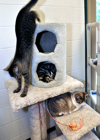 John P. Cleary   The Herald Bulletin<br /> The cats at the Animal Protection League are cageless in the cat room so they can roam and climb and play.