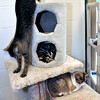 John P. Cleary | The Herald Bulletin<br /> The cats at the Animal Protection League are cageless in the cat room so they can roam and climb and play.