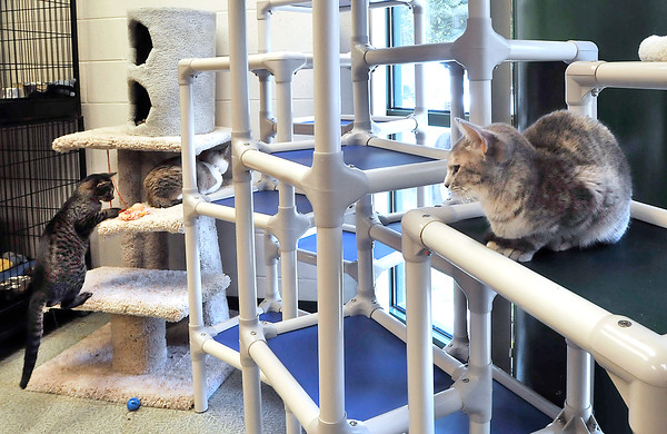 John P. Cleary | The Herald Bulletin<br /> Animal Protection League is going cageless with the cats in the cat room so they can roam, play, and socialize.