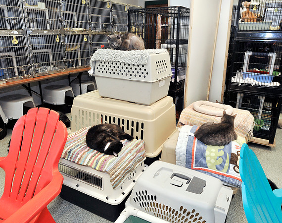 John P. Cleary | The Herald Bulletin<br /> Animal Protection League is going cageless with the cats in the cat room so they can roam, play, and socialize making it easier for the cat to adjust to a new home if they are adopted.