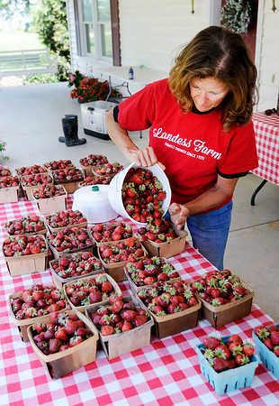 Don Knight | The Herald Bulletin<br /> Susan Landess fills a container of strawberries at the Landess Farm in Daleville on Tuesday. The farm lost 95 percent of their strawberries due to a late frost and heavy spring rains.