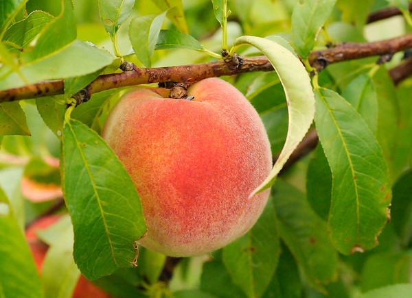 Don Knight   The Herald Bulletin<br /> Guenthenspberger Farms will be offering peaches for the first time in three years. The peaches aren't quite ready to be picked yet.