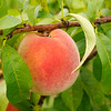 Don Knight | The Herald Bulletin<br /> Guenthenspberger Farms will be offering peaches for the first time in three years. The peaches aren't quite ready to be picked yet.