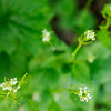 Don Knight | The Herald Bulletin<br /> Garlic mustard blooms along the White River trail in Anderson. The invasive plant is a biennial.