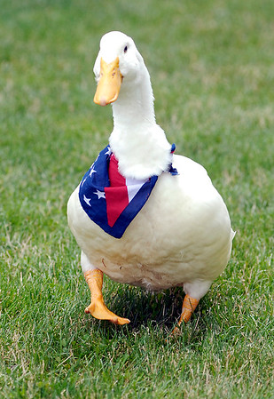 John P. Cleary    The Herald Bulletin<br /> Forrest the duck gets around slow but sure since his broken right leg has healed from surgery.