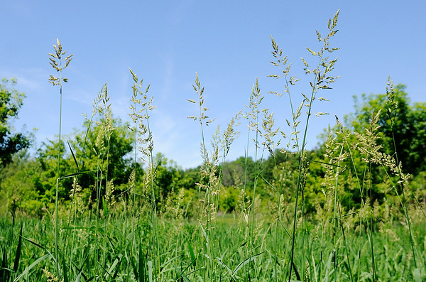 Don Knight   The Herald Bulletin<br /> Invasive reed canary grass grows near River Bend Park in Anderson. The plant spreads by rhizomes and can take over an area chocking out native species.