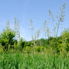 Don Knight | The Herald Bulletin<br /> Invasive reed canary grass grows near River Bend Park in Anderson. The plant spreads by rhizomes and can take over an area chocking out native species.