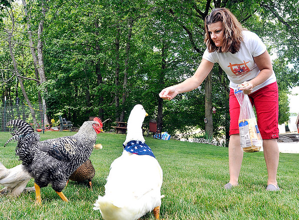 John P. Cleary |  The Herald Bulletin<br /> Forrest the duck fights over pieces of bread Cathy Gist throws out with the other hens and duck on the farm.