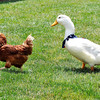 John P. Cleary |  The Herald Bulletin<br /> Since his leg is healed Forrest follows the hens around the Gist farm.