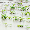 Don Knight | The Herald Bulletin<br /> Bean sprouts stand in a flooded field along County Road 300 East during Friday's rain storm.