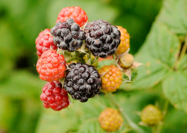 Don Knight   The Herald Bulletin<br /> Red raspberries are $5.50 per pound and black raspberries are $5.95 per pound at Guenthenspberger Farms in Daleville.