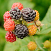 Don Knight | The Herald Bulletin<br /> Red raspberries are $5.50 per pound and black raspberries are $5.95 per pound at Guenthenspberger Farms in Daleville.
