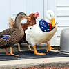 John P. Cleary |  The Herald Bulletin<br /> Forrest the duck, right, chums up with Jenny, the Mallard and one of the hens on the farm.
