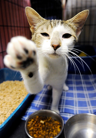 Don Knight   The Herald Bulletin<br /> A pregnant cat reaches out of her kennel at The Animal Protection League. About nineteen kittens were dropped off at Animal Protection League on Thursday alone.