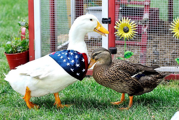 John P. Cleary |  The Herald Bulletin<br /> Forrest the duck and his best friend Jenny the Mallard are inseparable around the Gist farm.