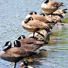 "John P. Cleary |  The Herald Bulletin<br /> These Canada geese decided this half submerged tree trunk was a good place to ""dry dock"" and warm themselves in the morning sunshine in the waters of Shadyside Lake."