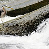 Don Knight | The Herald Bulletin<br /> A blue heron hunts for a meal in Fall Creek at Falls Park in Pendleton on Tuesday.