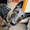 John P. Cleary | The Herald Bulletin <br /> Daleville Police Department K9 dog Dita appears on the TV show, SEAL Team along with her handler, officer Justin Melnick.