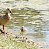 Don Knight | The Herald Bulletin<br /> A duck keeps an eye on her ducklings at Shadyside Lake on Thursday.