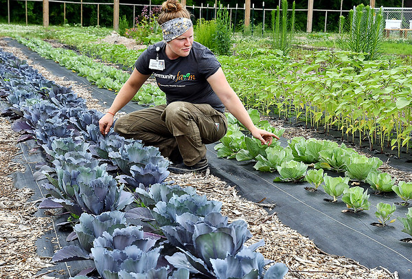 John P. Cleary | The Herald Bulletin<br /> Christine Davies, farm project coordinator at Community Hospital Anderson, checks how the cabbage is growing in their Community Farm.
